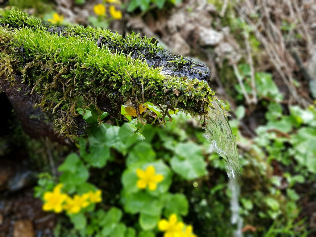 Podbeľ liečivý - prvá bylinka roka, ako ho využiť a na čo si dať pozor