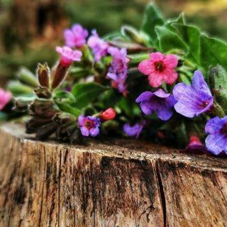 ZBER BYLINIEK pokračuje!! Link na BYLINKOVÝ KALENDÁR  na letné prázdniny nájdeš v bio☝️ ⠀⠀⠀⠀⠀⠀⠀⠀⠀ .. a inak, vieš, čo je toto za  bylinku a prečo ma kvety rôznych farieb? 🤔🌸💮🌺 . . #bylinky #liecivebylinky #divokebylinky #bylinkyleci #bylinkycz #sbiramebylinky #bylinkyzlesa #bylinkypomahaji #bylinky🌿 #bylinkovycaj #bylinkovy #bylinkovyblog #bylinkovykurz #bylinkový #slovenskapriroda #prirodajekrasna #prirodaslovenska #prirodalijeci